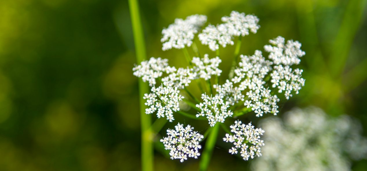 Queen Anne's Lace flower in focus with blurred green background