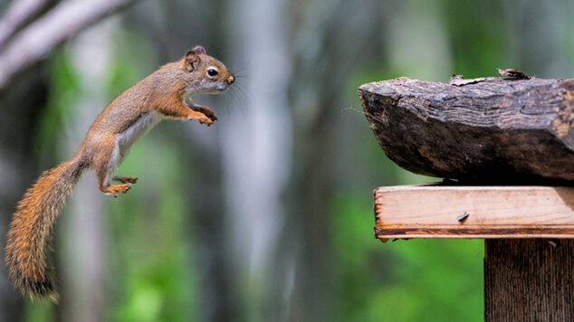 Squirrel leaping toward a post, green background with trees