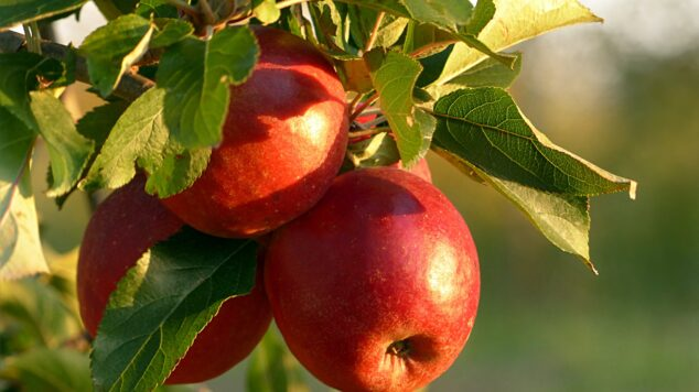 apples hanging on tree in orchard, lit by golden sun